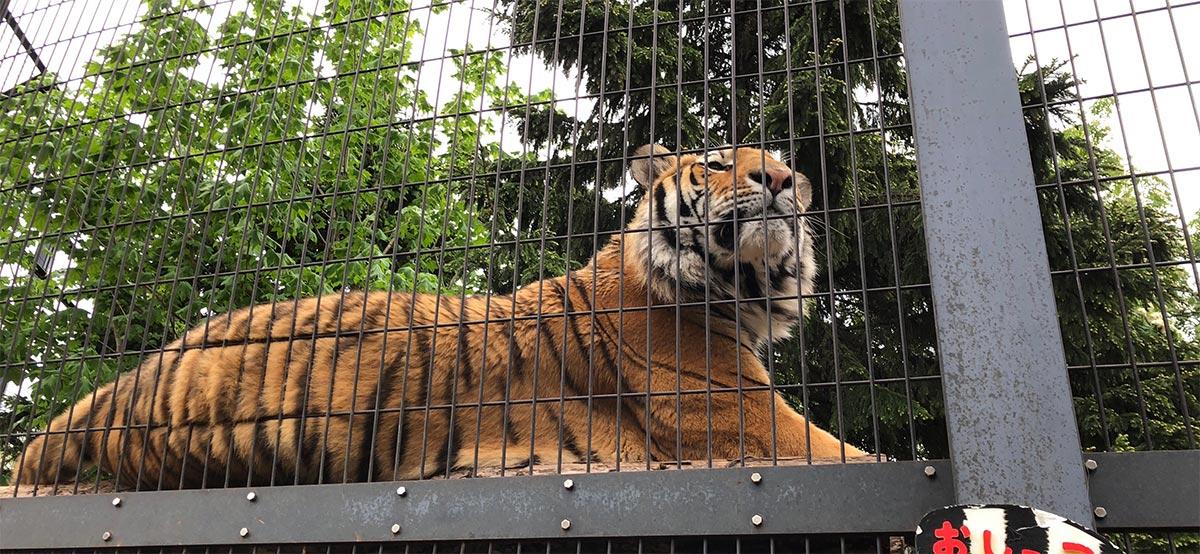 旭山動物園のトラ