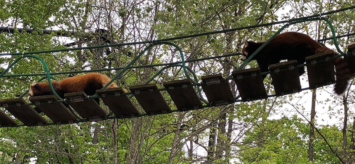 私達のすぐ頭上を行き交うレッサーパンダ
