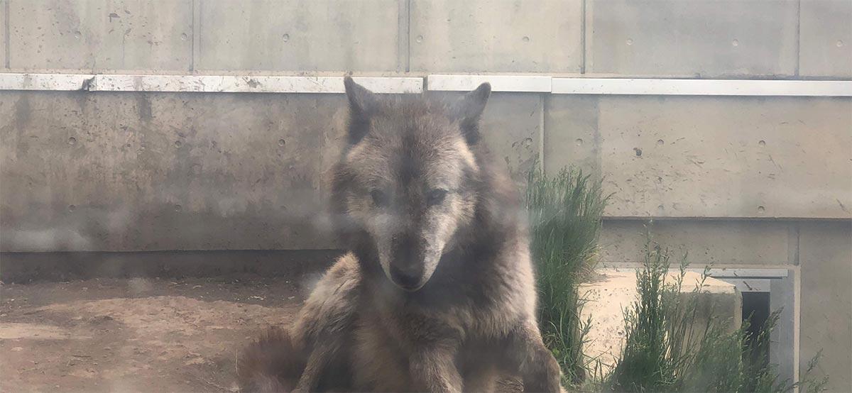 意外とかわいい顔のオオカミ