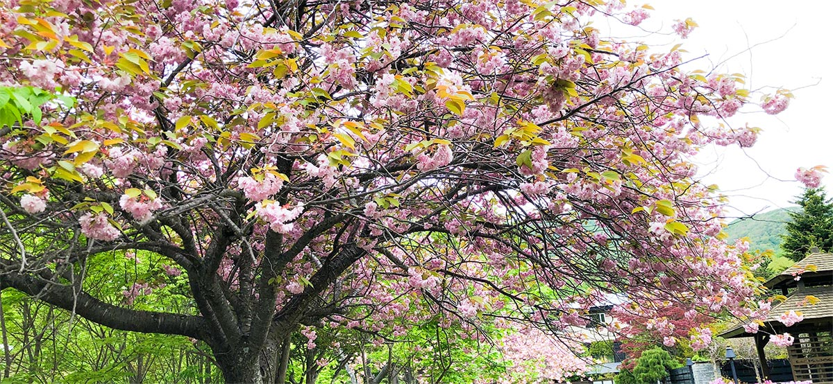 支笏湖の桜