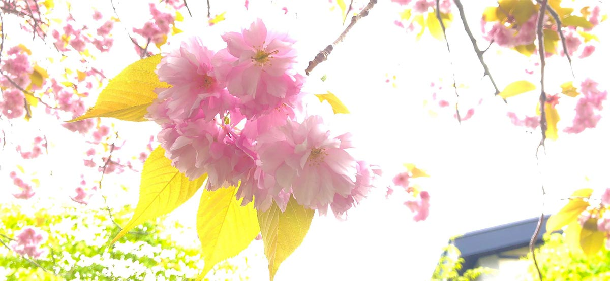 支笏湖の桜2